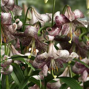 Lilium (Lily) Longiflorum Lankon Bulbs 2 Per Pack