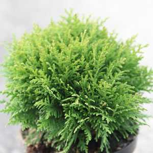 Thuja Occidentalis 'Danica' (White Cedar Danica)