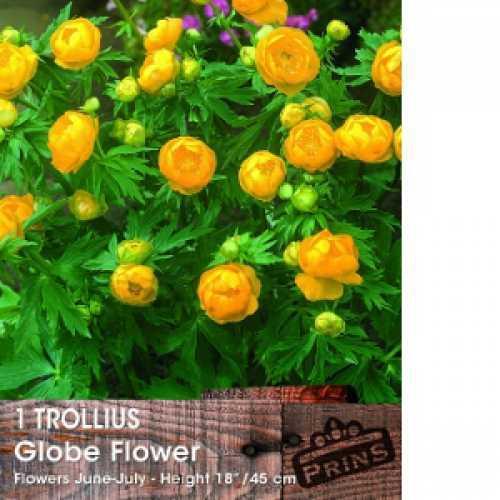 Trollius Globe Flower 1ltr