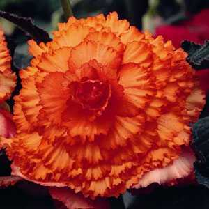 Begonia Tuber/Bulb Pacific Hybrid Prima Donna Ruffled Apricot 1 Per Pack
