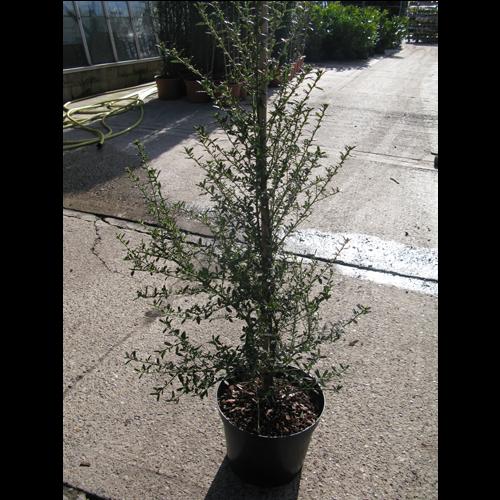 Ceanothus Concha (californian Lilac) 90-110cm  10 Litre