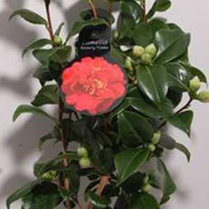 Camellia Japonica Beauty Flame 2Ltr