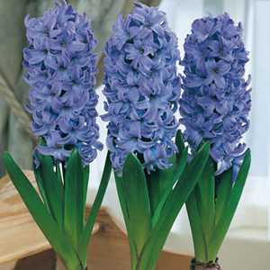 Hyacinth Prepared Bulbs Delft Blue 3 Per Pack