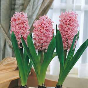 Hyacinth Prepared Bulbs Anna Marie 3 Per Pack