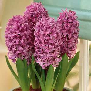 Hyacinth Prepared Bulbs Purple Sensation 3 Per Pack
