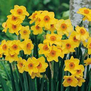 Narcissus Tazetta Hoopoe Bulbs 10 Per Pack