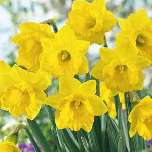 Narcissus Pseudonarcissus Bulbs Obvallaris (Daffodil) 10 Per Pack
