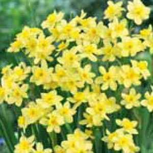Narcissus Tazetta Bulbs Pacific Coast (Daffodil)  10 Per Pack