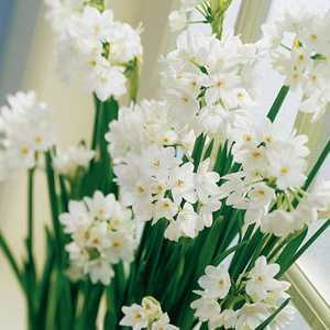 Narcissus Species Bulbs Paperwhite 5 Per Pack
