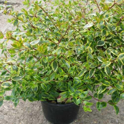 Buy Cheap Abelia Grandiflora Sunshine Daydream Online Cheap