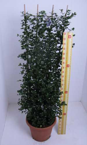 Cheap Evergreen Shrubs For Sale Buy Ceanothus Shrubs