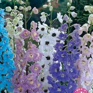 Delphinium Mixed Pre-Packed Perennials 3 Per Pack