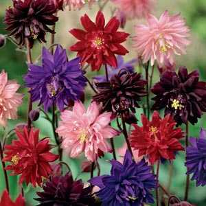 Aquilegia Barlow Mixed Pre-Packed Perennials 3 Per Pack