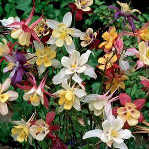 Aquilegia Mixed Pre-Packed Perennials 3 Per Pack