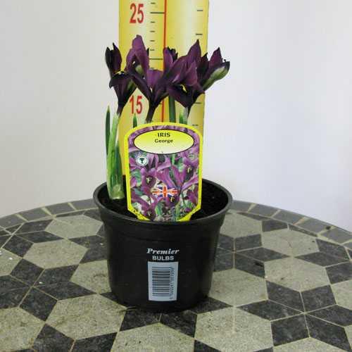 Iris Histroides George Potted Bulbs 13cm Pot