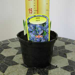 Iris Joyce Potted Bulbs 13cm Pot