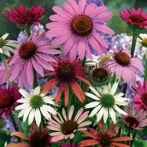 Echinacea Mixed Pre-Packed Perennials 3 Per Pack