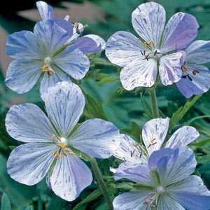 Geranium Splish Splash Pre-Packed Perennial Plant 1 Per Pack