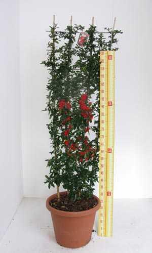 Pyracantha Saphyr Red Trellis Climber (Firethorn) 20Ltr