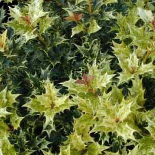 Osmanthus Heterophyllus Goshiki (False Holly) 3Ltr