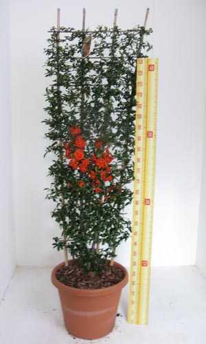 Pyracantha Saphyr Orange Trellis Climber (Firethorn) 20Ltr