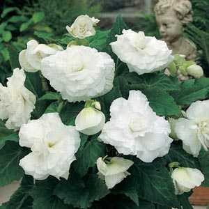 Begonia Double White Bulbs 3 Per Pack