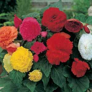Begonia Fimbriata (Fringed) Mixed Bulbs 3 Per Pack