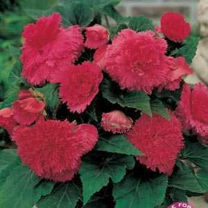 Begonia Fimbriata (Fringed) Pink Bulbs 3 Per Pack