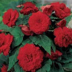 Begonia Fimbriata (Fringed) Red Bulbs 3 Per Pack