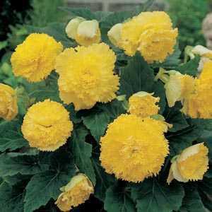 Begonia Fimbriata (Fringed) Yellow Bulbs 3 Per Pack