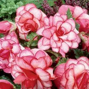 Begonia Special Bouton De Rose Bulbs 3 Per Pack