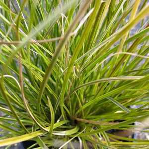 Carex Testacea Prairie Fire (Indian Summer) 1ltr