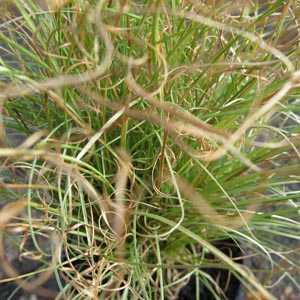 Carex Comans Amazon Mist 1ltr