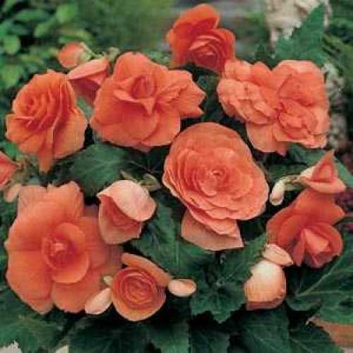 Begonia Non-Stop Potted Mixed Colours 1ltr