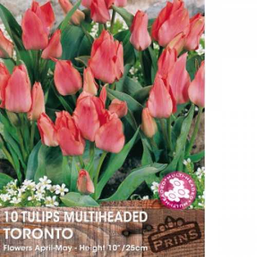 Tulip Bulbs Multiheaded Toronto 10 Per Pack