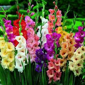 Gladioli (Gladiolus) Giant Flowering Bulbs Mixed 25 Per Pack