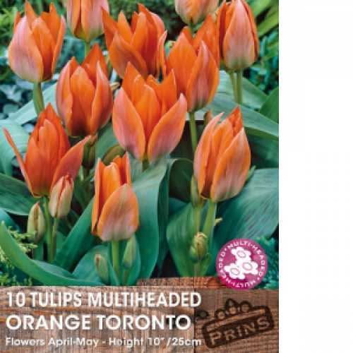 Tulip Bulbs Multiheaded Orange Toronto 10 Per Pack