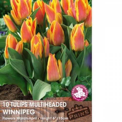 Tulip Bulbs Multiheaded Winnipeg 10 Per Pack