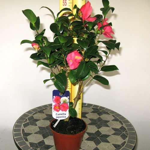 Camellia Japonica Magali 3Ltr