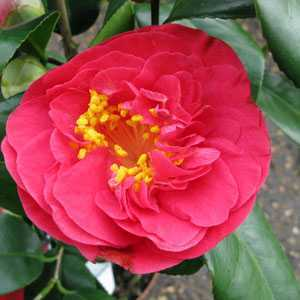 Camellia Japonica Campbelli (Lady Campbell) 3ltr Pot