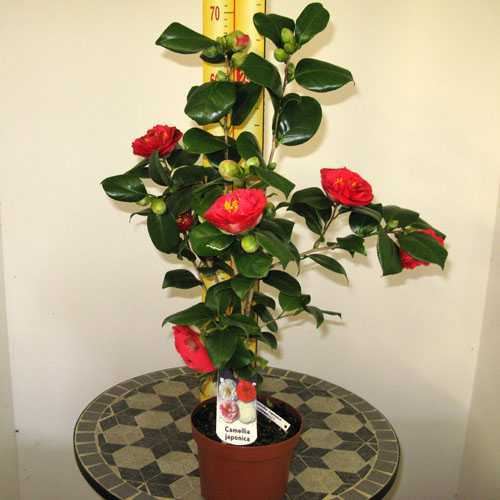 Cheap Camellia Japonica Lady Campbell Online Camellias