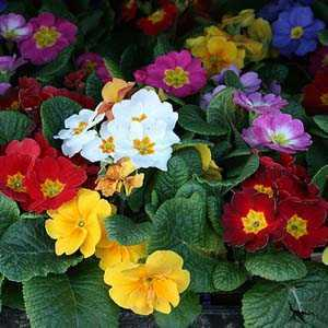 Primrose Winter Flowering 9cm Pot