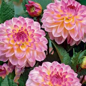Dahlia Ball Bulbs El Paso 1 Per Pack