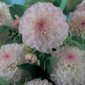 Dahlia Ball Bulbs Eveline 1 Per Pack