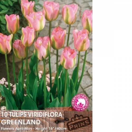 Tulip Bulbs Viridiflora Greenland 10 Per Pack