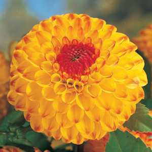 Dahlia Ball Bulbs Sunny Boy 1 Per Pack