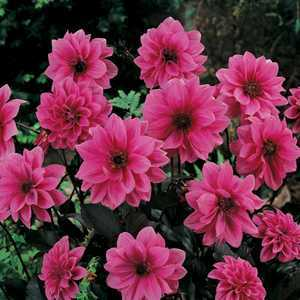 Dahlia Decorative/Border Fascination Bulbs 1 Per Pack