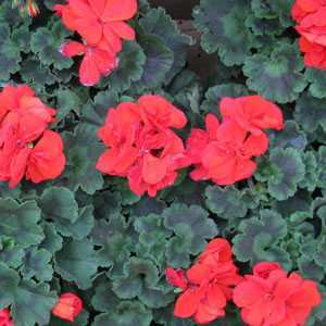 Geranium Potted Red (Summer Bedding) 10.5cm Pot