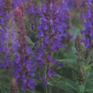 Salvia Sage Nemorosa Sensation Deep Blue