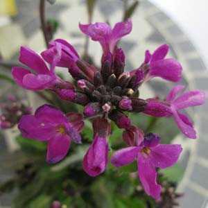 Arabis Blepharophylla (Coast rock cress) 1Ltr